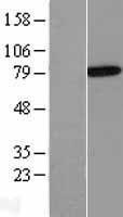 NBL1-07566 - Annexin VI Lysate