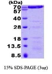 NBP1-37078 - Annexin A6 / ANXA6