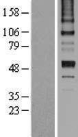 NBL1-15852 - Antithrombin III Lysate
