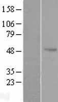 NBL1-07873 - Antizyme inhibitor 1 Lysate