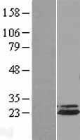 NBL1-07512 - Apc10 Lysate