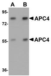 NBP1-77378 - APC4 / ANAPC4