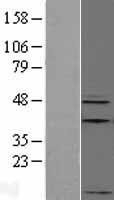 NBL1-07605 - Apelin Lysate