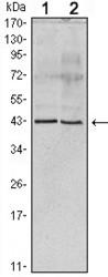 NBP1-47550 - Apolipoprotein A V / ApoA5