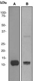 NBP1-95372 - Apolipoprotein C III (Apo CIII)
