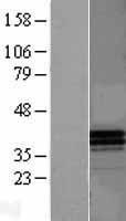 NBL1-07622 - Apolipoprotein F Lysate