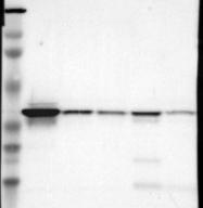 NBP1-90127 - Apolipoprotein L2 (Apo L2)