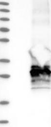 NBP1-84488 - Aquaporin-1