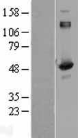NBL1-09973 - Aspartyl Aminopeptidase Lysate
