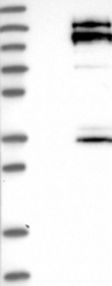NBP1-85261 - SPAG5 / MAP126