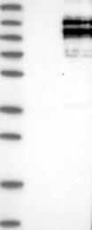 NBP1-85262 - SPAG5 / MAP126