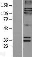 NBL1-16365 - Astrin Lysate