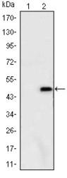 NBP1-51689 - Ataxin-1