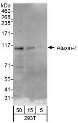 NBP1-42657 - Ataxin-7