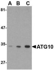 NBP1-76386 - APG10L / ATG10