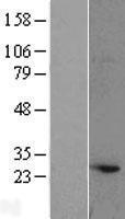 NBL1-07794 - Atg10 Lysate