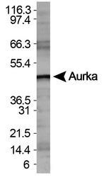 NBP1-51843 - Mitofusin-1