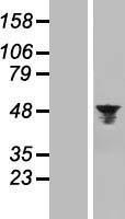 NBL1-07857 - Aurora A Lysate