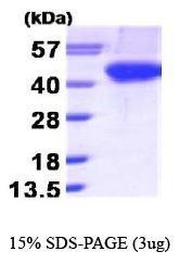 NBP1-30242 - Aurora kinase B