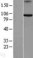 NBL1-07868 - Axin 2 Lysate