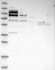NBP1-90056 - MARCH7 / RNF177