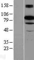 NBL1-08021 - B Raf Lysate