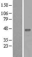 NBL1-07879 - B3GALT5 Lysate