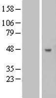 NBL1-07887 - B3GNT5 Lysate