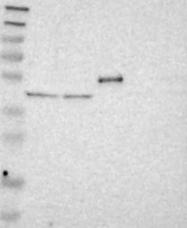 NBP1-88653 - B4GALT3
