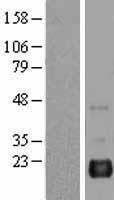 NBL1-07894 - BAALC Lysate