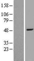 NBL1-07895 - BAAT Lysate