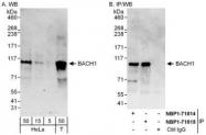 NBP1-71814 - BACH1
