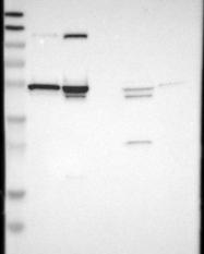 NBP1-90012 - SMARCE1 / BAF57