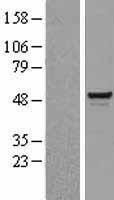NBL1-16235 - BAF57 Lysate