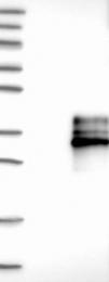 NBP1-90011 - CD268 / BAFFR