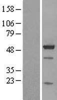NBL1-07903 - BAG5 Lysate