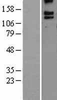 NBL1-07905 - BAI3 Lysate