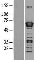 NBL1-07906 - BAIAP2 Lysate