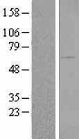 NBL1-07907 - BAIAP2 Lysate