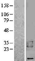 NBL1-07910 - BAMBI Lysate