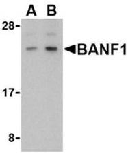 NBP1-76750 - BANF1
