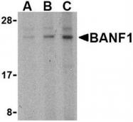 NBP1-76751 - BANF1
