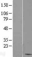 NBL1-07911 - BANF1 Lysate