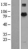 NBL1-07915 - BAP1 Lysate