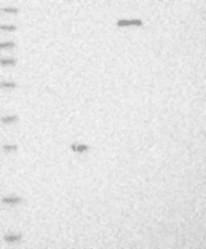 NBP1-90009 - BCAP29 / BAP29