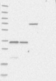 NBP1-85953 - BARHL2