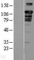 NBL1-07918 - BAT3 Lysate