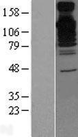 NBL1-07919 - BAT3 Lysate