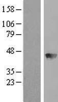 NBL1-07926 - BBOX1 Lysate