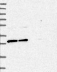 NBP1-85857 - BCDIN3D